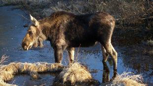 W lasach Lubelszczyzny żyje ponad pięć tysięcy łosi