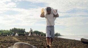Kostaryka - jej mieszkańcy polują na chronione żółwie morskie (Gold Fields)