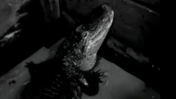 """Krokodyl Herman była kobietą. Gwiazda """"Hydrozagadki"""" kończy 82 lata"""